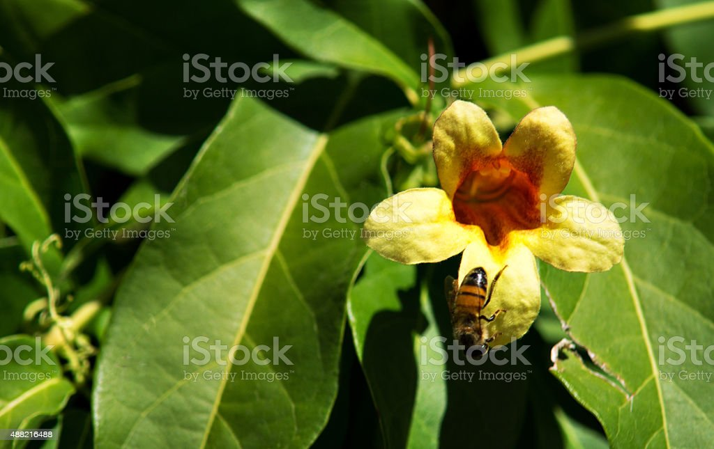 Bumble bee coming out of a yellow trumpet vine flower stock photo