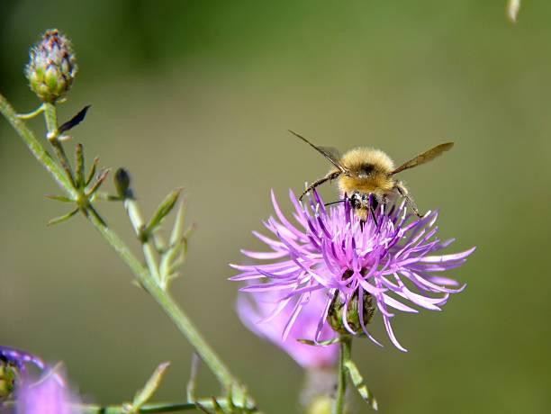 bumble bee überdachte in pollen - wilde hilde stock-fotos und bilder