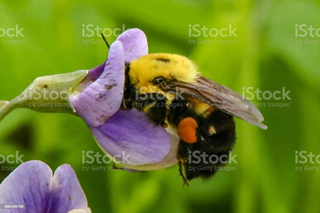 Bumble Bee drinking nectar in a lavender flower stock photo