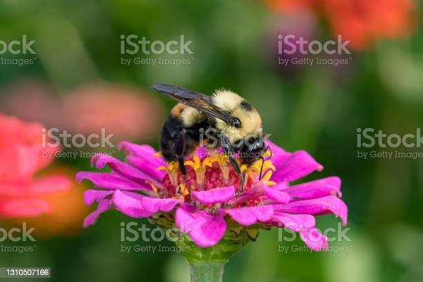 Photo of Bumble bee feeding on nectar from Zinnia wildflower. Concept of insect and wildlife conservation, habitat preservation, and backyard flower garden