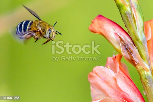 Bumble bee flying in midair pollinating a peach flowering plant, seen here in midair action.