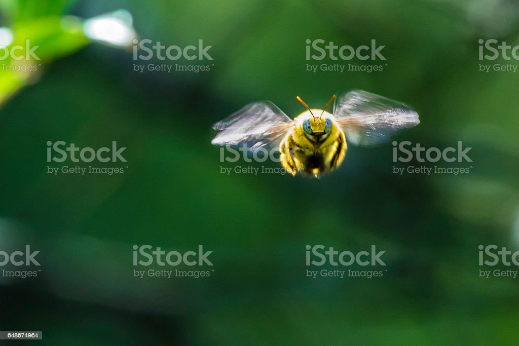 Bumble bee from the front stock photo