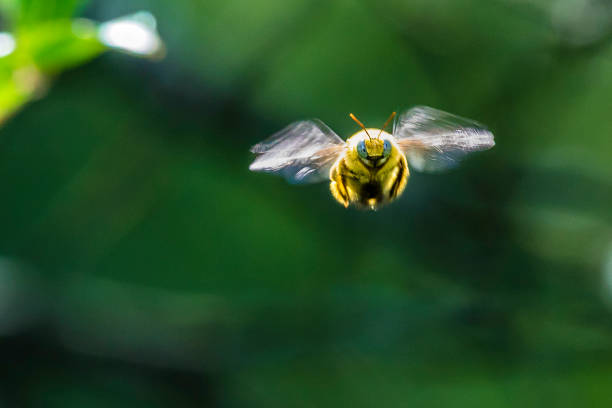 bumble bee from the front - calabrone ape foto e immagini stock