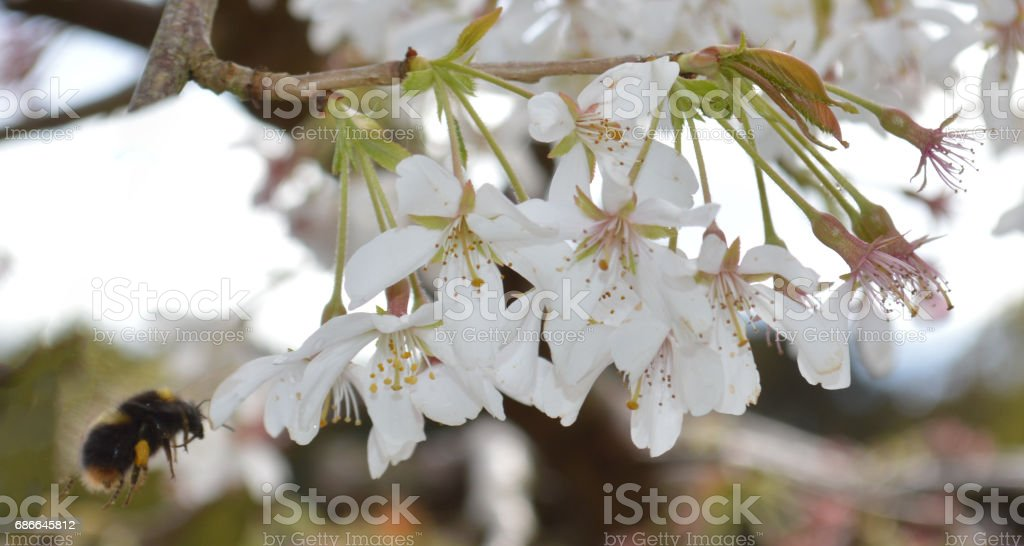 Bumble bee gathering pollen from Cherry Blossom royalty-free stock photo