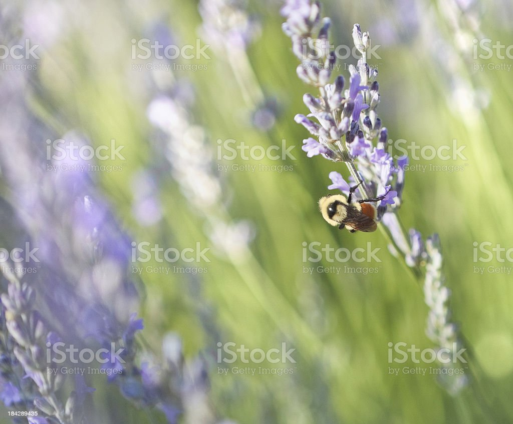 Bumble Bee Gathering Pollen From Lavender royalty-free stock photo