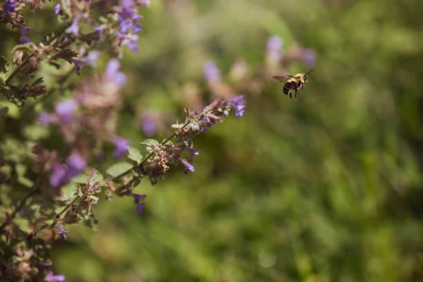 Bumble Bee in a Garden stock photo