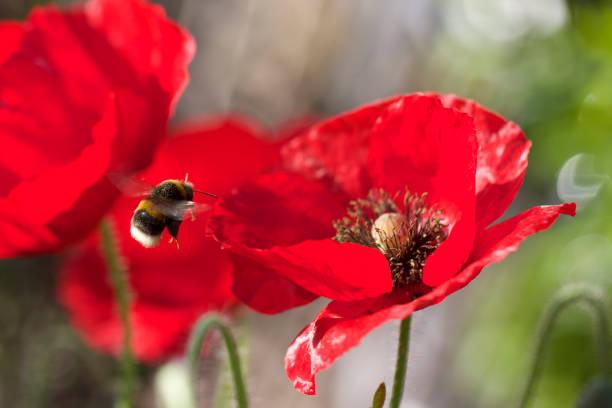 Hummel im Flug neben eine lebendige rote Mohnblume – Foto