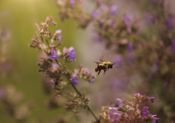 Bumble Bee in the Garden stock photo