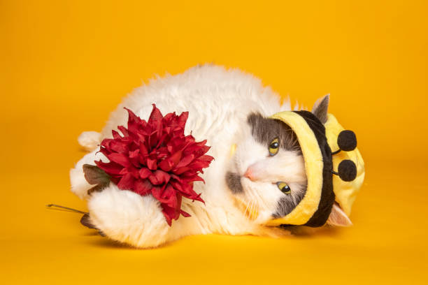 Bumble Bee Kitty Cat Holding Flower on Yellow An adorable white and gray cat in a bumble bee hat on yellow laying down holding a flower in her pawa. sdominick stock pictures, royalty-free photos & images