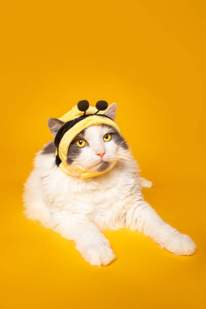 Bumble Bee Kitty Cat on Yellow An adorable white and gray cat in a bumble bee hat on yellow. sdominick stock pictures, royalty-free photos & images