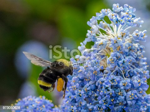 istock Bumble Bee Laden Pollen Basket Flying Blue Flowers Oregon Bombus 973050628