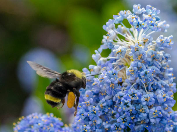 bumble bee laden pollen basket flying blue flowers oregon bombus - bumblebee stock pictures, royalty-free photos & images