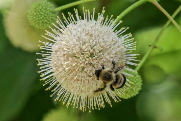 Bumble bee on a buttonbush stock photo