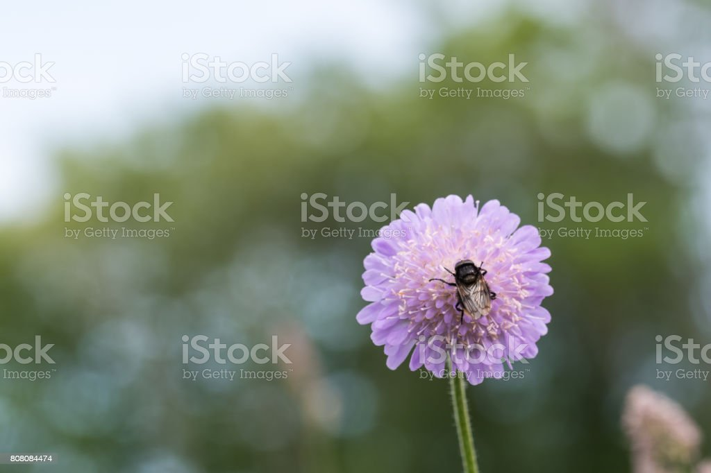 Bumble bee on a flower head stock photo