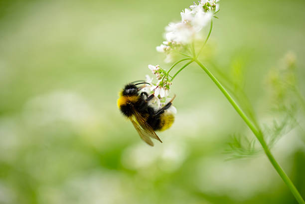 bumble bee on a flower - bumblebee stock pictures, royalty-free photos & images