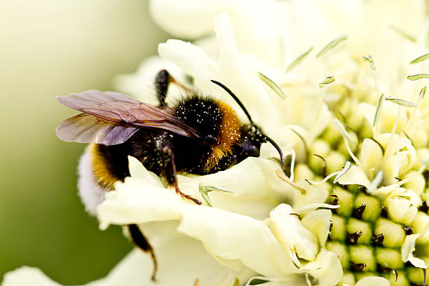 Bumble Bee on a giant scabious stock photo