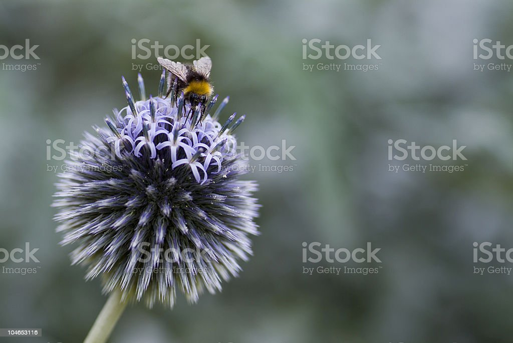 Bumble Bee on a Globe Thistle stock photo