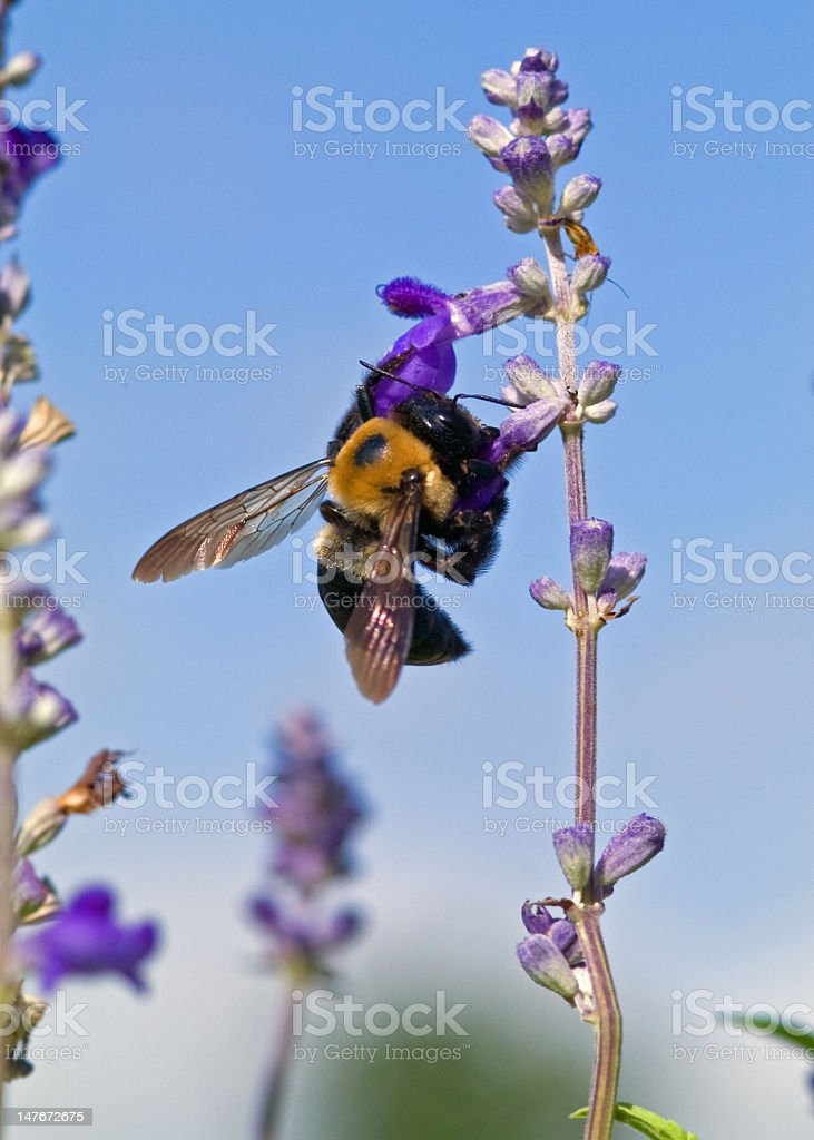Bumble Bee on a Mission royalty-free stock photo