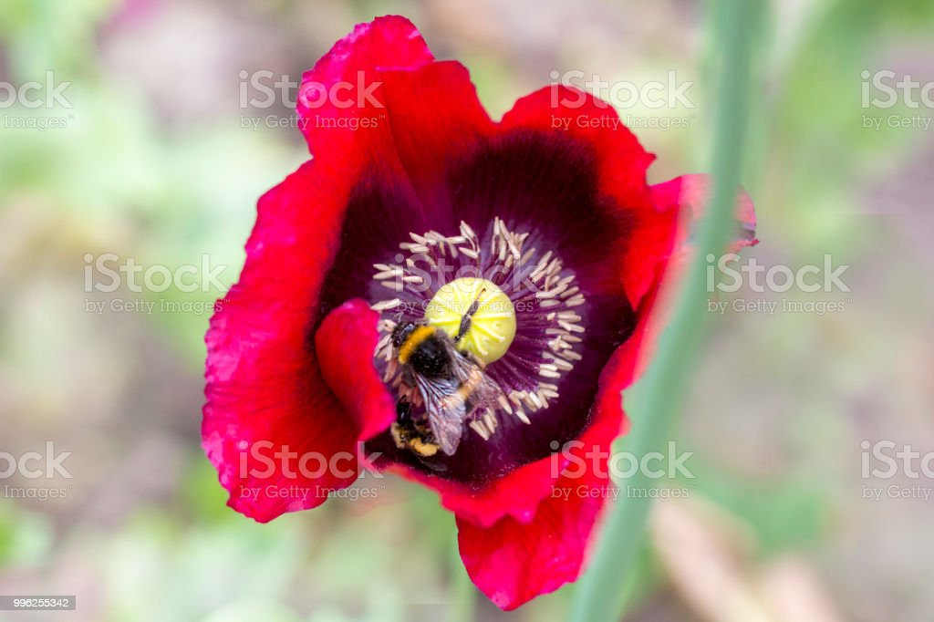 Bumble bee on a poppy stock photo