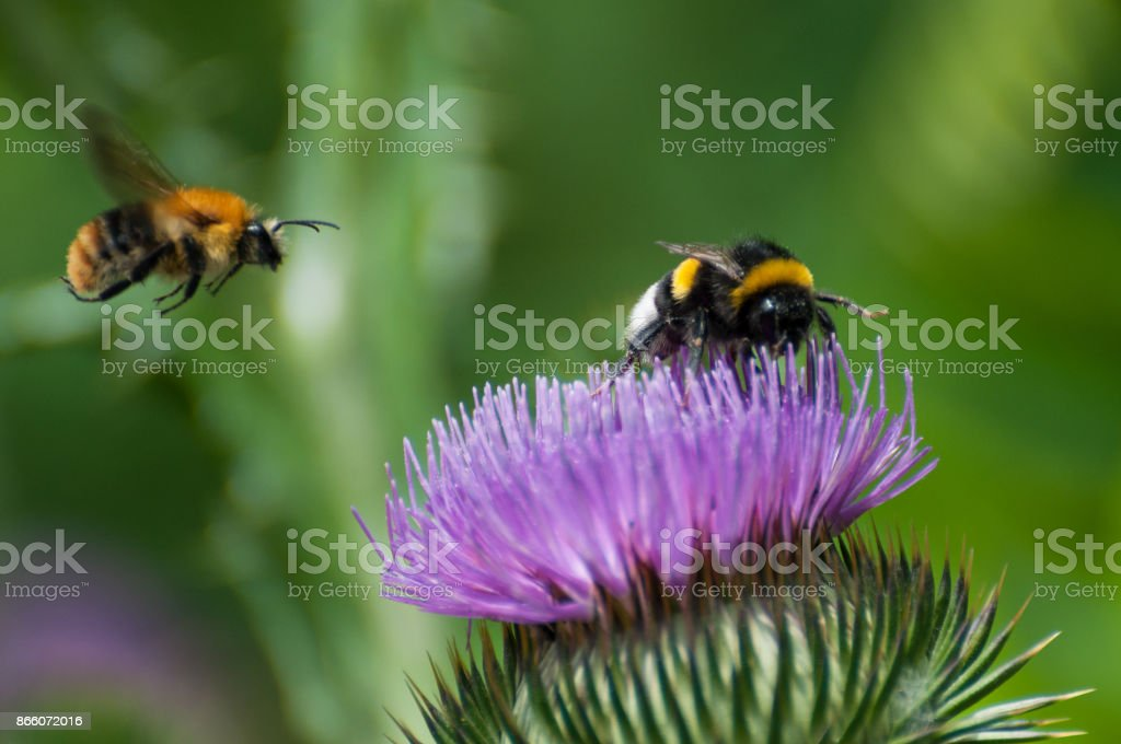 bumble bee on a purple blooming thistle stock photo