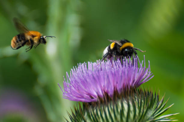 bumble bee on a purple blooming thistle - calabrone ape foto e immagini stock
