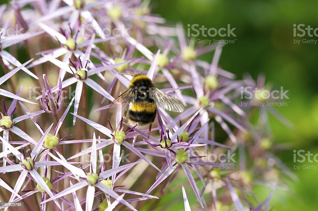 Bumble Bee sur Allium photo libre de droits