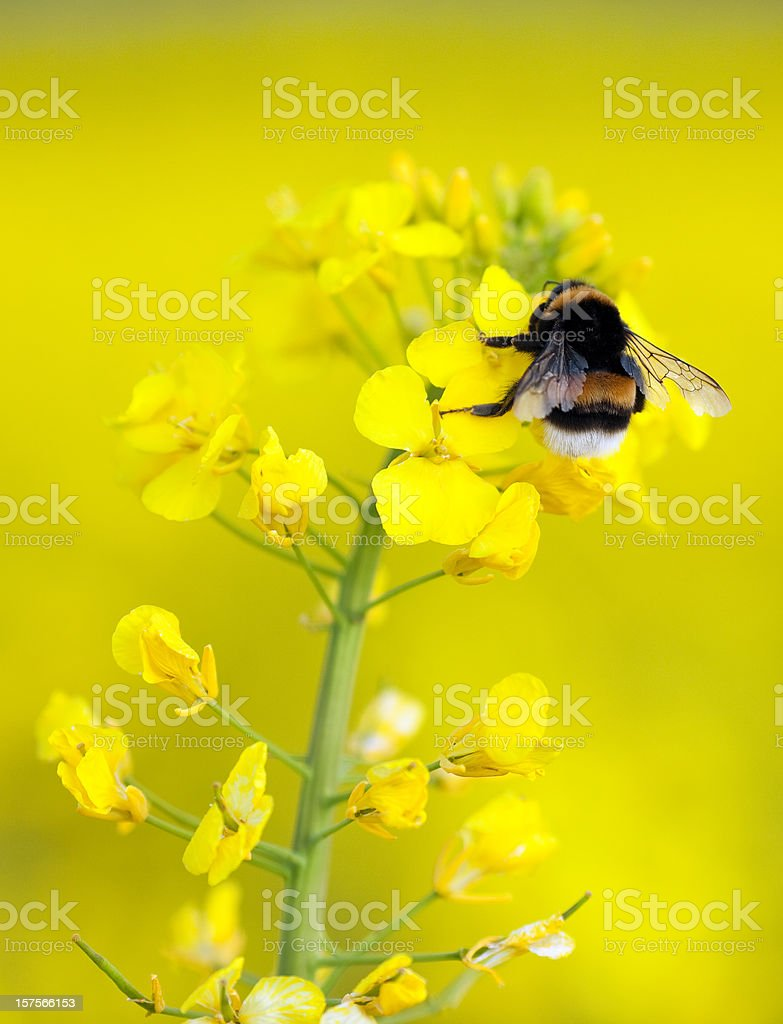 Bumble bee on an yellow flower stock photo