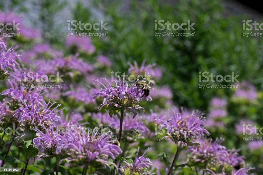 Bumble Bee on Bee Balm stock photo