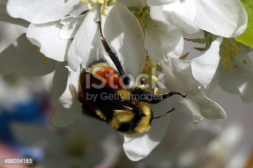 A bumble bee sitting on a crabapple blossom in spring in Alberta Canada.