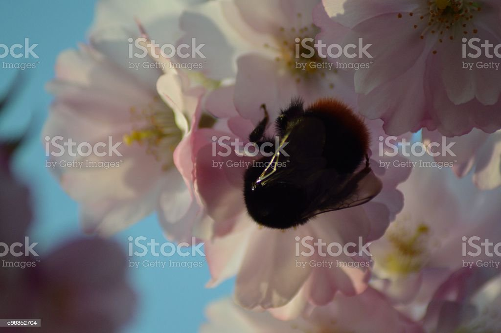 Bumble Bee on Cherry Blossom royalty-free stock photo