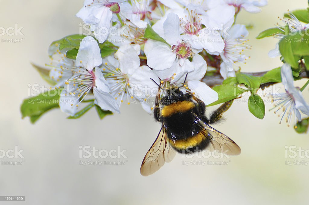 bumble bee on cherry flower stock photo