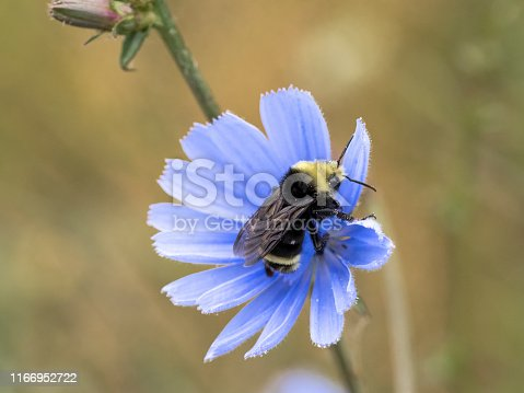A common chicory (Cichorium intybus) wildflower in Western Oregon. Is in the dandelion family. Has a Bumble Bee on it.