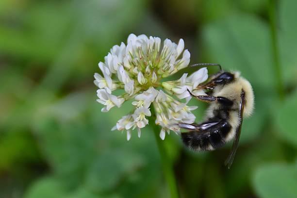 bumble bee am clover - wilde hilde stock-fotos und bilder