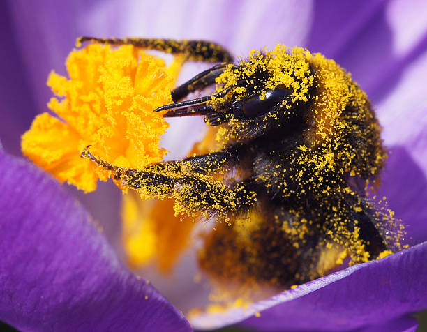 bumble bee on crocus - bumblebee stock pictures, royalty-free photos & images