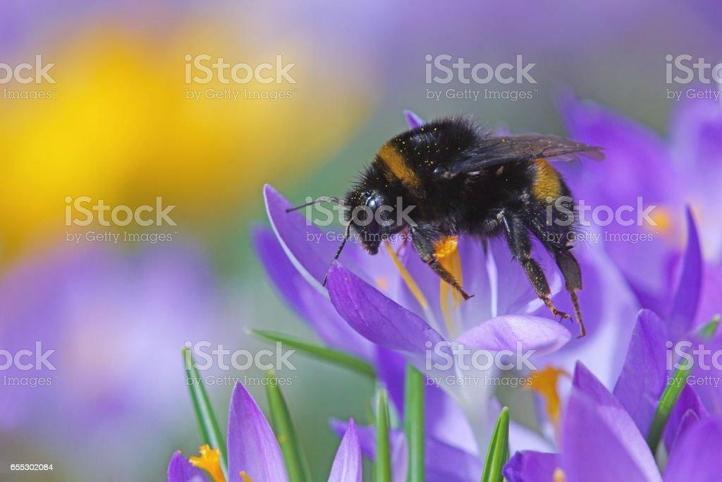 Bumble bee on crocus