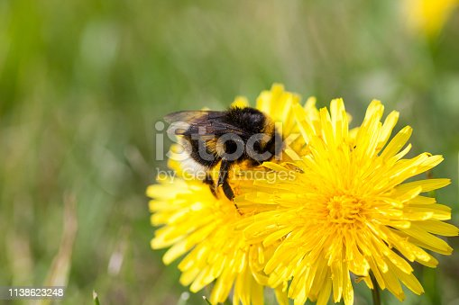 Bumble bee on dandelion at summer day close-up