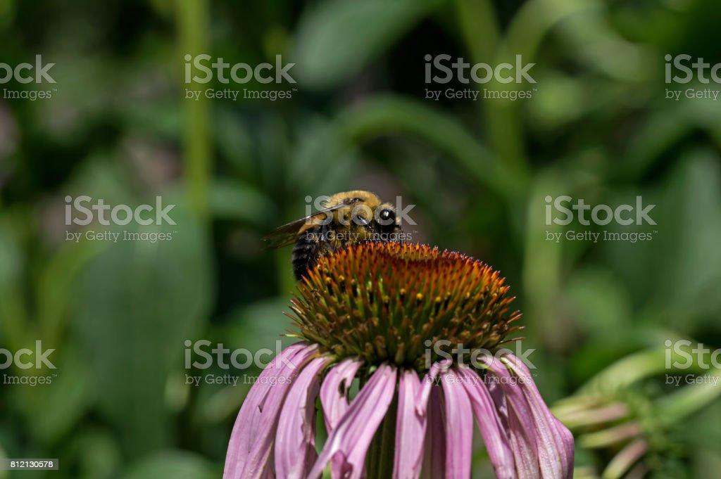 Bumble Bee on Echinacea stock photo