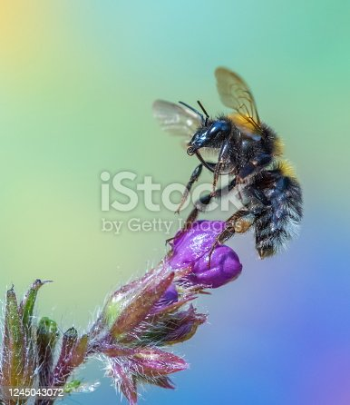 Bumble bee on italian ox tongue,Eifel,Germany. PLease see more than 1000 insect pictures of my Portfolio. Thank you!