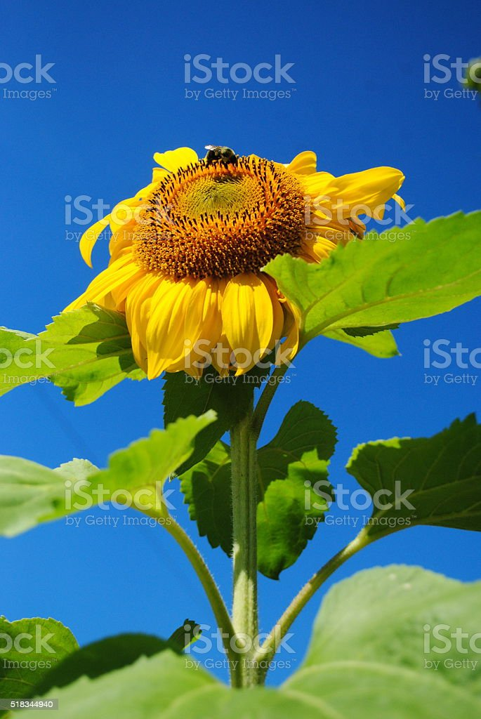 Bumble Bee on Full Bloom Sunflower stock photo