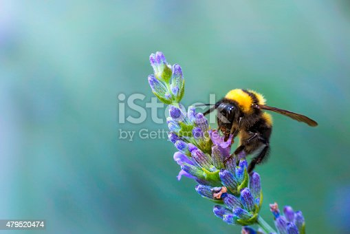 Bumble bee on lavander flower.
