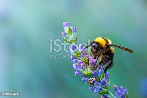 istock bumble bee on lavander 479520474