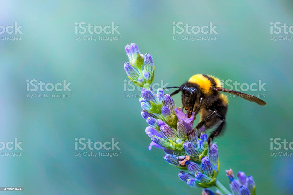 bumble bee on lavander stock photo
