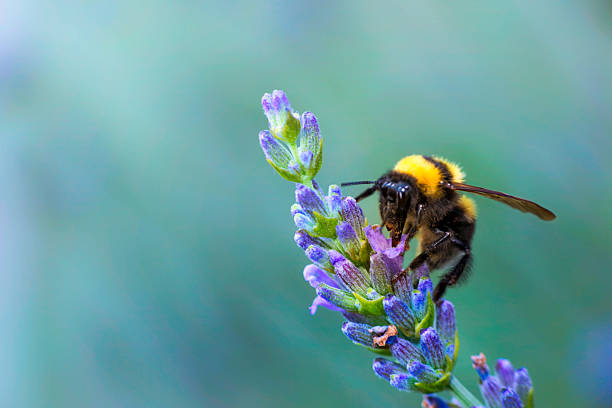 bumble bee on lavander - bumblebee stock pictures, royalty-free photos & images