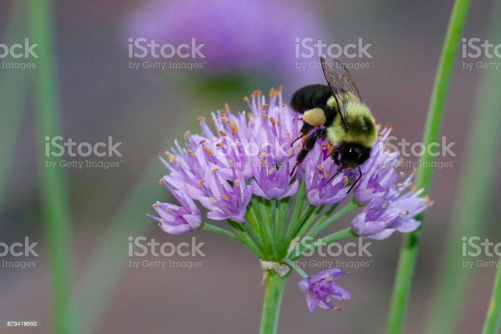 Bumble Bee on Lavender Flower stock photo