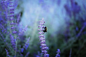 A bumble bee on a lavender stalk with lush purples and greenery