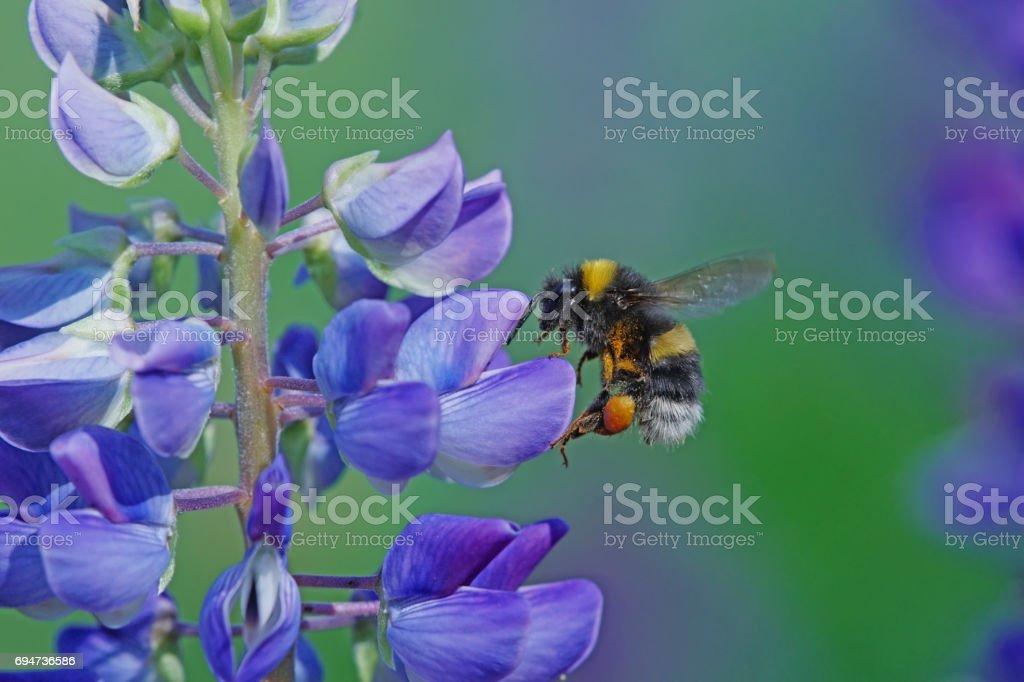 Bumble bee on lupin stock photo