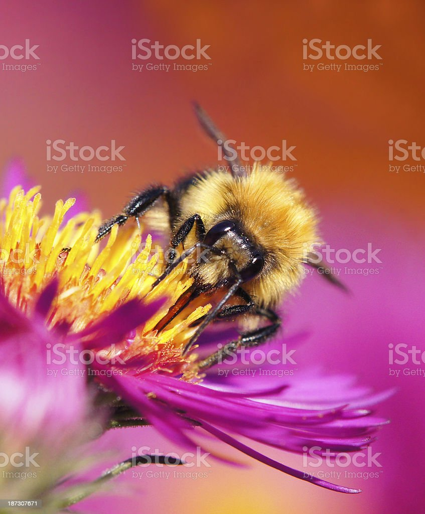 Bumble bee on michaelmas daisy royalty-free stock photo