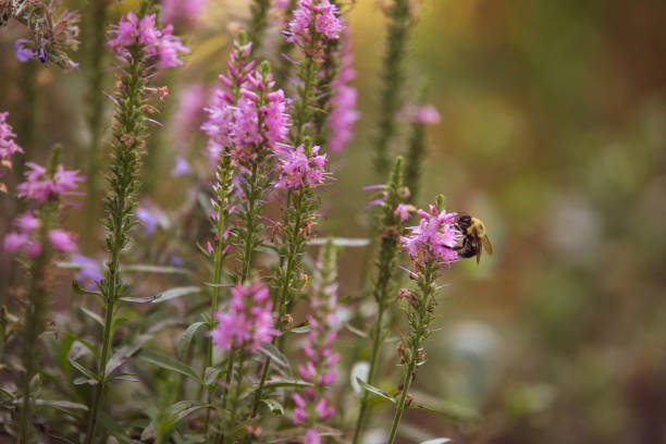 Bumble Bee on Pink Salvia stock photo