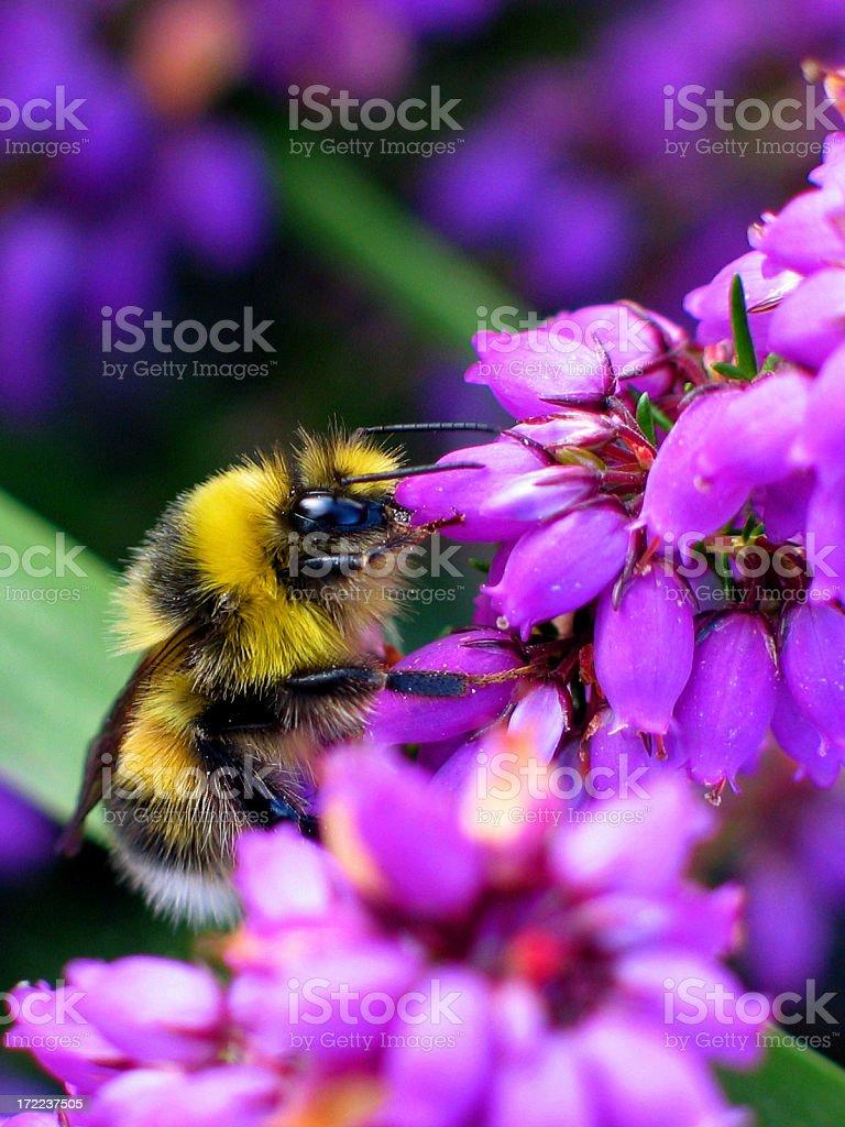 Bumble bee on purple summer heather stock photo