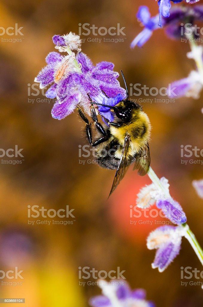 Bumble Bee on Sage stock photo
